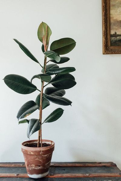 Large Indoor Plants That Have The Wow Factor